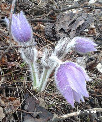 Leánykökörcsin lila virága